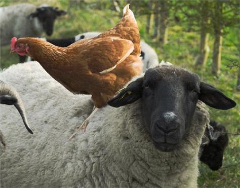 Una oveja con una gallina encima
